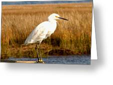 Snowy Egret 2 Greeting Card
