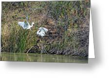 Snowy Egret Confrontation 8664-022018-1 Greeting Card