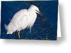 Snowy Egret In Afternnon Light Greeting Card