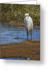 Snowy Egret Of Chincoteague No. 3 Greeting Card