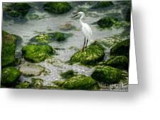 Snowy Egret On Mossy Rocks Greeting Card