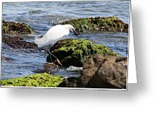 Snowy Egret  Series 2  2 Of 3  Preparing Greeting Card