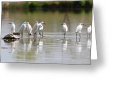 Snowy Egrets On Calm Water Greeting Card