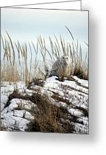 Snowy Owl In Dunes #2 Greeting Card