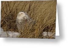 Snowy Owl In Grass Greeting Card