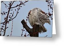 Snowy Owl Preening Greeting Card