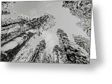 Snowy Sequoias At Calaveras Big Tree State Park Black And White 7 Greeting Card