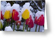 Snowy Tulips Greeting Card