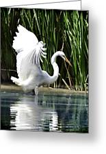 Snowy White Egret In The Wetlands Greeting Card