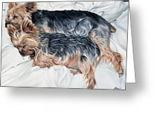 Snuggling Yorkies Greeting Card