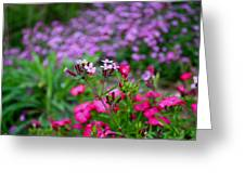 Soapwort And Pinks Greeting Card
