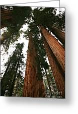 Soaring Sequoias Greeting Card