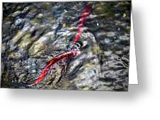 Sockeye Salmon, Alaska, August 2015 Greeting Card