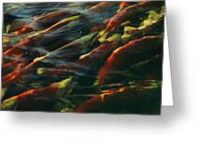 Sockeye Salmon Swim Upstream To Spawn Greeting Card