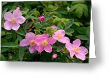 Soft Light On Nookta Rose Rosa Nutkana Greeting Card by Ralph Lee Hopkins