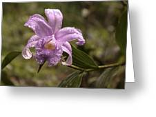 Soft Pink One-day Orchid With Droplets Of Dew Greeting Card