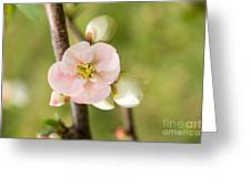 Pink Quince Blossom Greeting Card