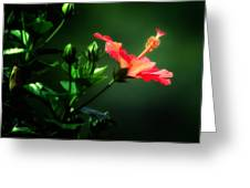 Soft Red Hibiscus Plant Greeting Card