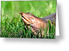 Soft Shell Turtle  Greeting Card