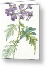Solanum Quercifolium Greeting Card