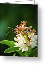 Soldier Beetle Greeting Card