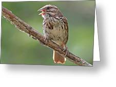 Song Sparrow Song Greeting Card