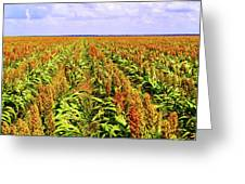 Sorghum Plants Fields In Botswana Greeting Card