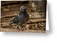 South American Pigeon  Greeting Card