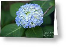 Southern Blue Hydrangea Blooming Greeting Card
