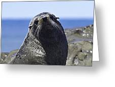 Southern Fur Seal Greeting Card