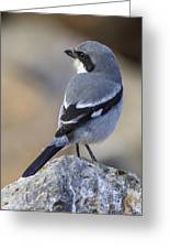 Southern Grey Shrike-- . Greeting Card