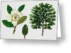 Southern Magnolia Or Bull Bay  Greeting Card