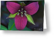 Southern Red Trillium Greeting Card