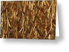 Soybean Crop In Kutztown Pa Greeting Card by Anna Lisa Yoder