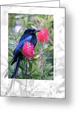 Spangled Drongo Greeting Card