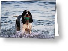Spaniel Gundog Greeting Card