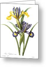 Spanish Iris Greeting Card