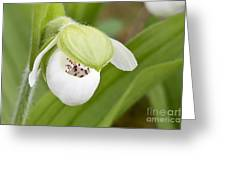 Sparrow's-egg Orchid  Greeting Card