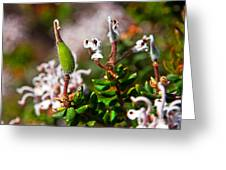 Spider Flower Seed Pod Greeting Card