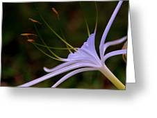 Spider Lilly Blue Greeting Card by Susanne Van Hulst