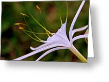 Spider Lilly Flower 2 Greeting Card