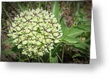 Spider Milkweed - Antelope Horns Greeting Card