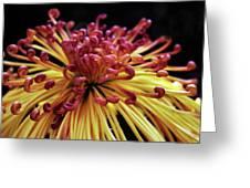 Spider Chrysanthemum Greeting Card