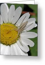 Spider On Daisy Greeting Card