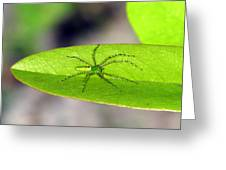 Spider On Pawpaw Greeting Card