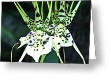 Spider Orchid Brassia Greeting Card