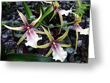 Spider Orchids Greeting Card
