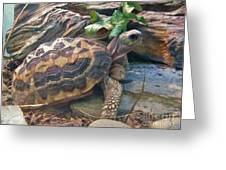 Spider Tortoise       Zoo    Indiana Greeting Card