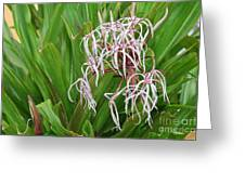 Spider,lily Greeting Card