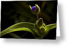 Spiderwort Bud Greeting Card